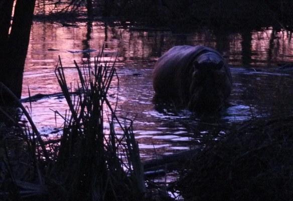 A raunchy young bull hippo (Photo: DN)