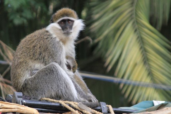 Contented monkey/accomplished breakfast thief (Photo: RWH)
