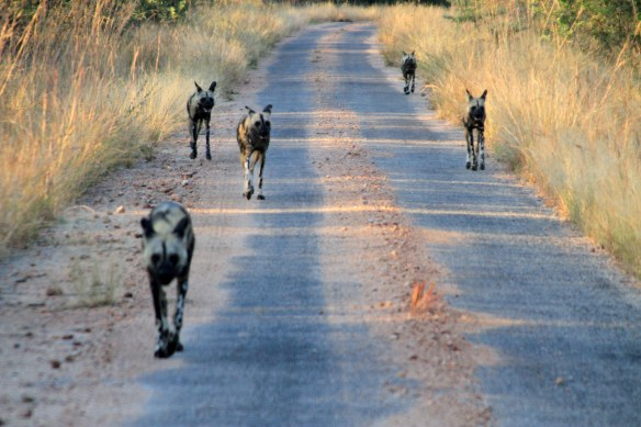 Painted dogs, the rarest mammal in the world (Photo: SW)